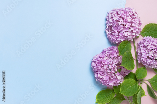 Keuken foto achterwand Hydrangea Lilac pink hydrangea flower on pastel blue and pink flat lay background. Mothers Day, Birthday, Valentines Day, Women´s Day, celebration concept. Top view Floral border with copy space.