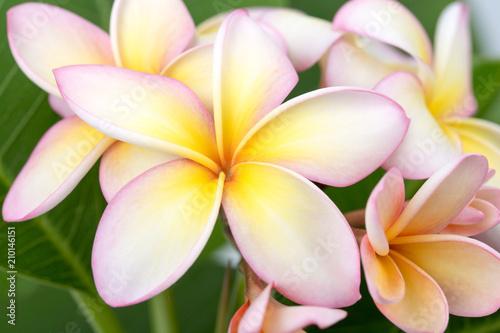 Spoed Foto op Canvas Frangipani Plumeria or frangipani flower, Tropical flower.