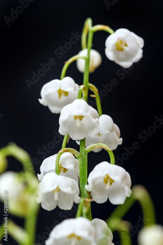 Foto op Plexiglas Lelietje van dalen Lily of the valley on black closeup