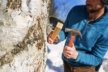 Man Tapping A Tree For Syrup