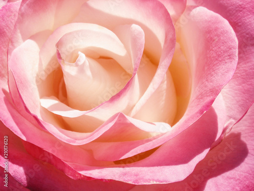 Fototapeta delicate cream pink rose flower obraz na płótnie