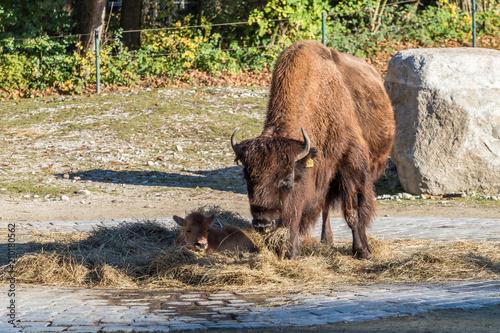 Waldbison - Bison bison athabascae