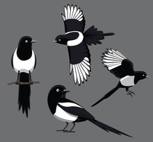 Bird Poses Black-Billed Magpie Vector Illustration