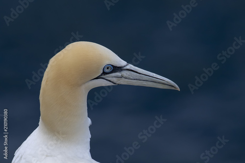 Photo  Gannets, morus, gliding, nesting besides cliff face at troup head, aberdeenshire, scotland in june