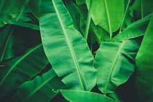 Tropical Banana Leaves, Nature...