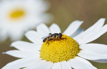 Black And Yellow Fly Eats Camomile Nectar