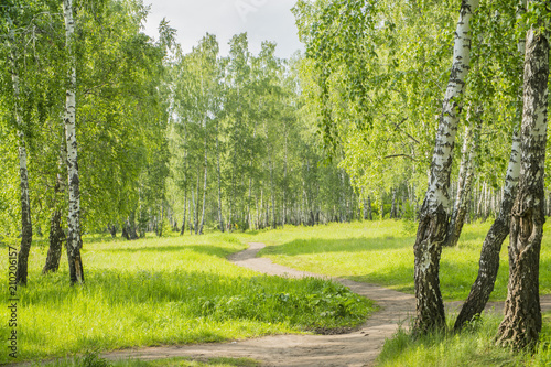 Fototapeta summer birch forest obraz
