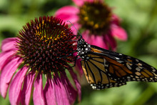 Coneflower With Monarch