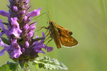 Butterfly Skipper, Hesperiidae...