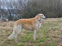Running Borzoi Dog