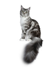 Pretty Young Adult Black Silver Tabby Maine Coon Cat Sitting Side Ways Isolated On White Background, Looking At The Lens With Tail Hanging Over Edge