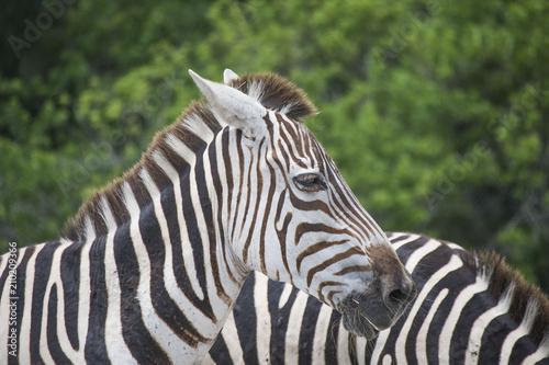 In de dag Bleke violet Zebra