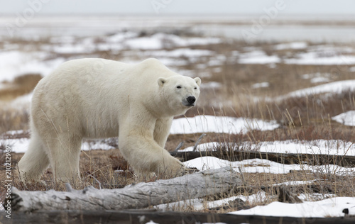 Tuinposter Ijsbeer Polar Bear in Hudson Bay near the Nelson River