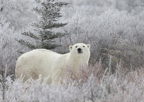 Recess Fitting Polar bear Polar Bear in Hudson Bay near the Nelson River