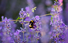 Bumble Bee Collecting Nectar A...