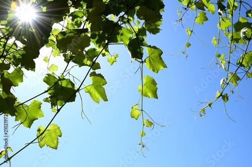 Sonne scheint durch Weinrebenblätter vor blauen Himmel Buy
