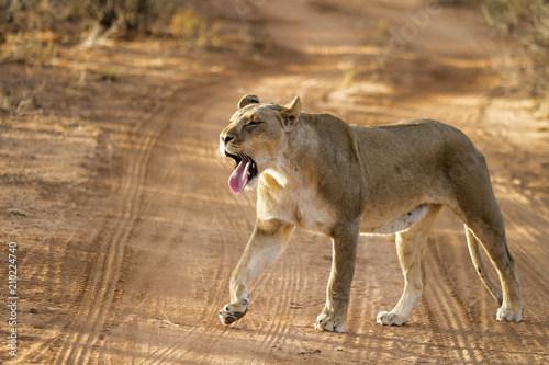 Foto  Lioness yawning in the first sunlight in Erindi Game Reserve in Namibia