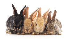Four Small Rabbits.