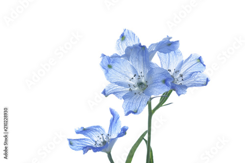 Fotomural flowers of delphinium on a white background