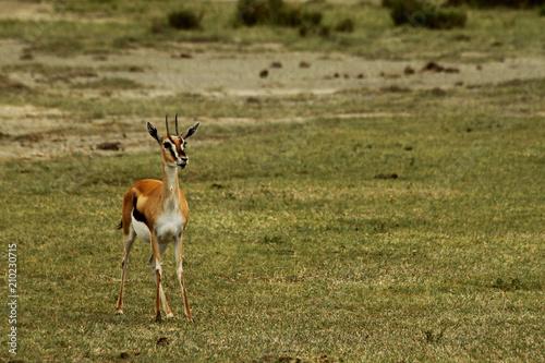 Spoed Foto op Canvas Antilope On Guard Gazelle