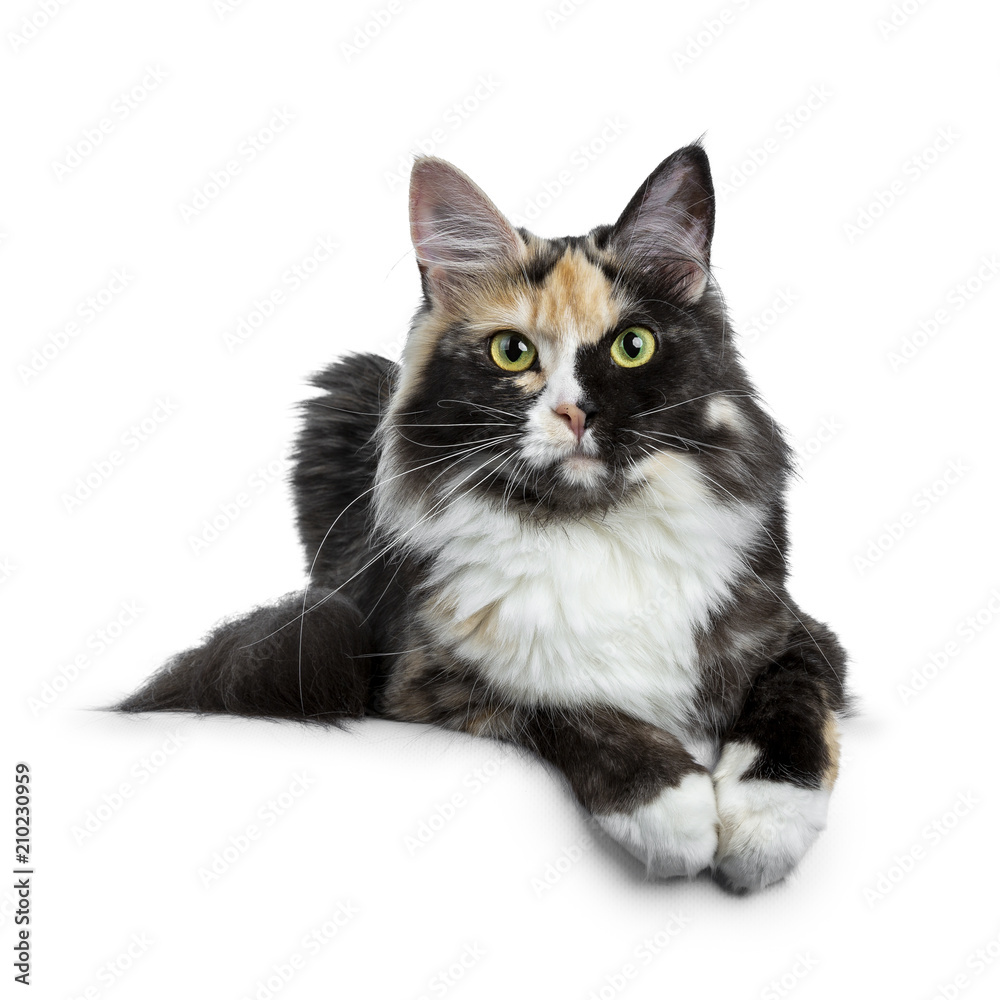 Fototapety, obrazy: Beautiful black smoke tortie Maine Coon cat girl laying isolated on white background with two paws over edge and looking straight in lens
