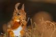 Red Squirrel (Sciurus vulgaris), County Durham, England, UK