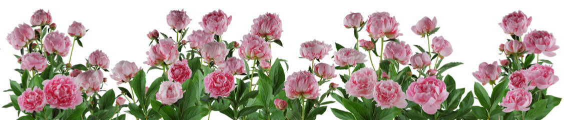 Fototapeta Peonie beautiful full pink flowers and plants of peonies isolated, can be used as background
