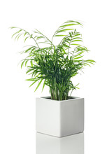 Beautiful Parlor Palm In A White Ceramic Pot