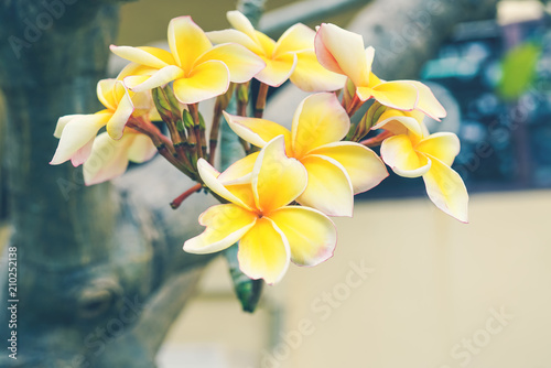 Spoed Foto op Canvas Frangipani blooming yellow plumeria flowers on tree with vintage filter