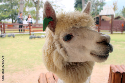 Foto auf AluDibond Lama Alpaca in the farm