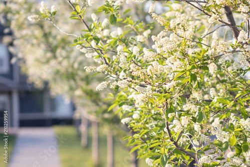 In de dag Begraafplaats Trees Flowering in Suburb Park in Spring