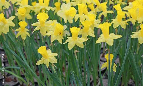 Deurstickers Narcis Yellow Daffodils flower field.