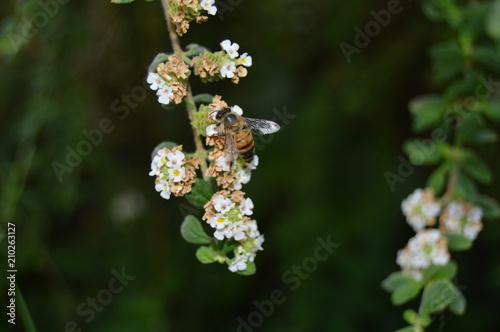 Papiers peints Narcisse honey bee on oregano