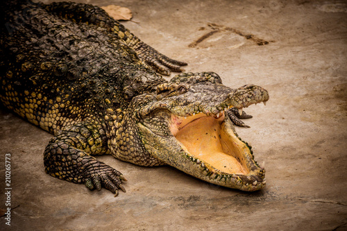 Foto op Canvas Krokodil Close up Crocodile open mouth in the depression zoo.