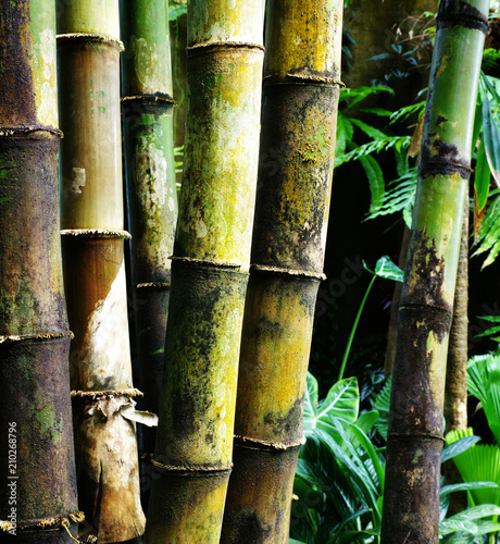 giant bamboo Dendrocalamus giganteus