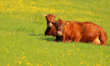Photo Of Two Dexter Cows Lying...