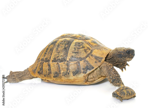 Tortue Hermanns Tortoise and baby turtles