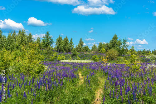 Foto op Aluminium Blauw Beautiful landscape with purple lupines.