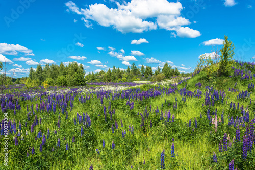 Foto op Aluminium Pistache Beautiful landscape with purple lupines.