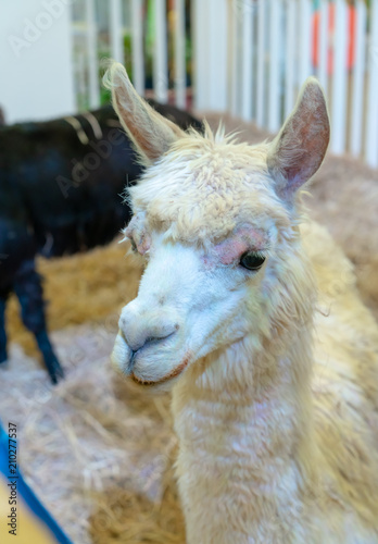 Closed up white Lama's head with soft fluffy hair and upright ears