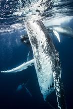 トンガのザトウクジラ