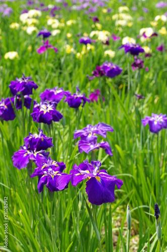 Foto op Canvas Iris Japanese iris garden