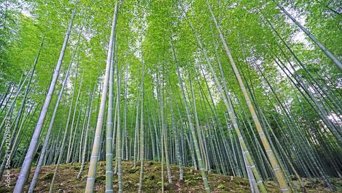 Foto op Plexiglas Bamboe Green bamboo plant forest in Japan zen garden