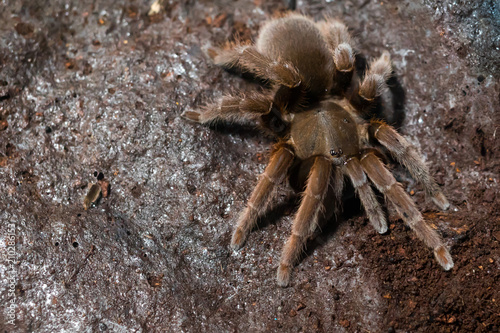 Asian spider tarantula next to a spider web, top view