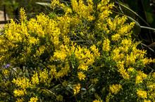 Sardinia Wild Broom In Bloom M...