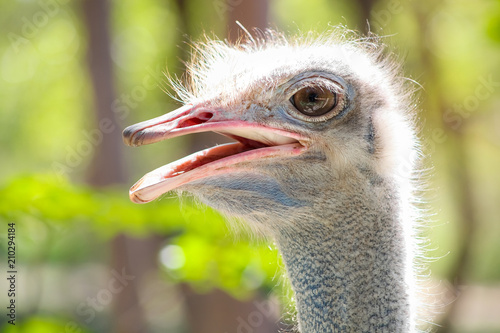Staande foto Struisvogel Close up of an African Ostrich head