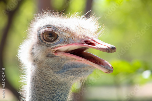 Spoed Foto op Canvas Struisvogel Close up of an African Ostrich head