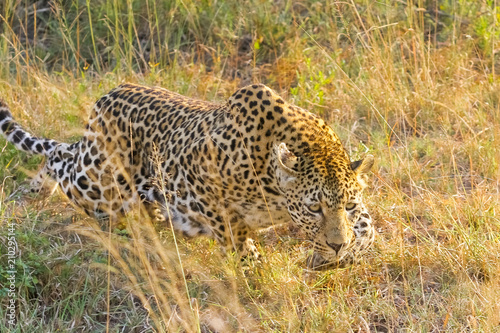 Tuinposter Luipaard African Leopard walking in the grass