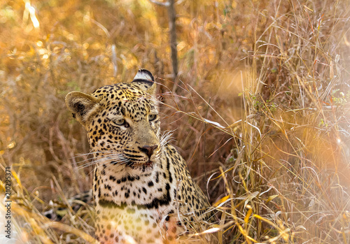 In de dag Luipaard African Leopard sitting in the grass