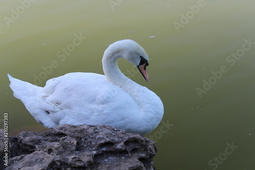Tuinposter Zwaan White swan posing in the park